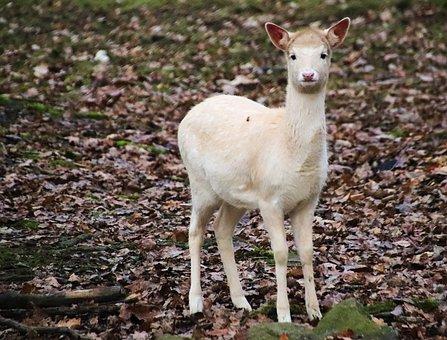 Doe, Hart, Female, Animal, Mammal