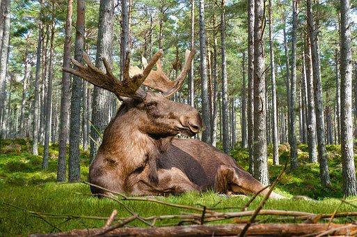 Moose, Forest, Nature, Concerns, Antler
