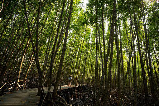 Mangrove, Environment, Nature, Forest
