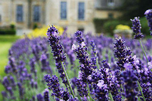 Lavender, Flower, Garden, Purple, Nature, Herbs, Summer