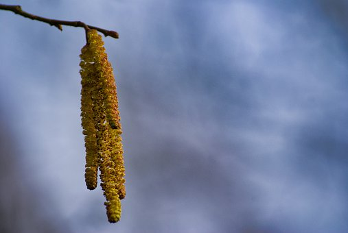 Willow Catkin, Spring, Close Up, Nature