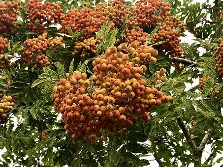 Sea Buckthorn, Plant, Berry, Orange, Bush