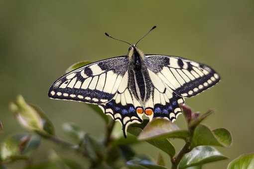 Old World Swallowtail, Papilio Machaon, Insect