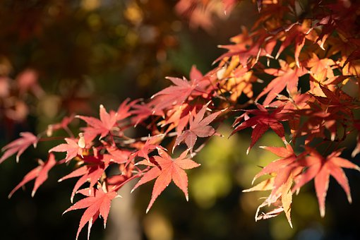 Autumnal Leaves, Maple, Autumn, Natural, Leaf, Plant