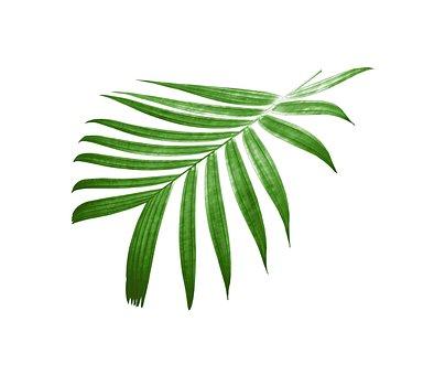 Palm, Leaf, Foliage, Tropical, Green, Leaves, Plant