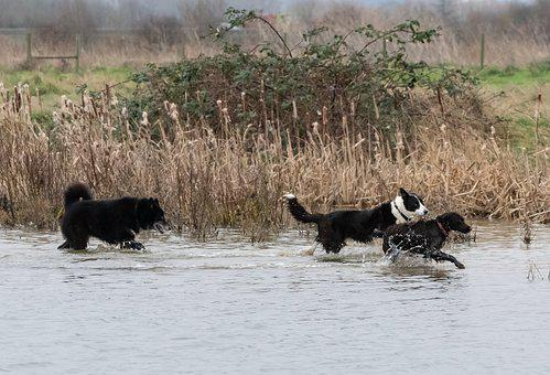Dogs In Water, Playing, Collie, Old Dog, Spaniel