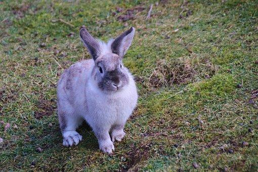 Rabbit, Sitting, Grass, Meadow, Rodent, Mammal, Animal