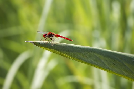 Red-veined Darter, Sympetrum Fonscolombii, Insect