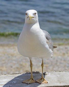 Seagull, Seaside, Beach, Summer, Bird, Shore, Seabird