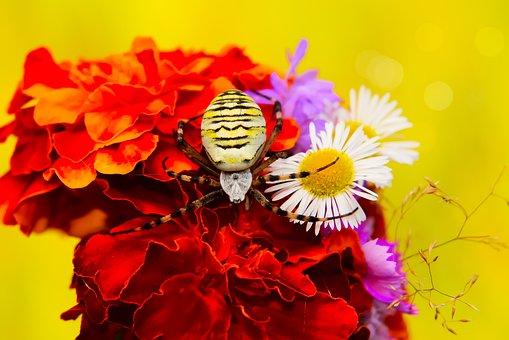 Tygrzyk Paskowany, Female, Spider, Bouquet Of Flowers