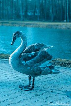 Lake, Swan, Pen, Nature, Water, Beach, Animals