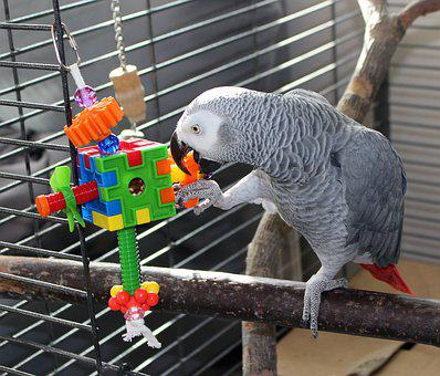 The Parrot, Grey Parrot, Bird, Play Around With The