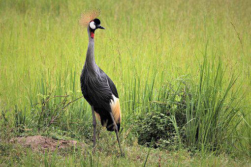 East African Crested Crane, Looking, Uganda, Bird Life