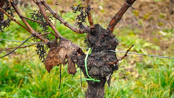 Vines, Vine, Wine, Grapevine, Winegrowing, Rebstock