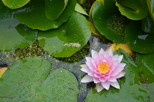 Flower, Nénuphare, Water Lily, Plants