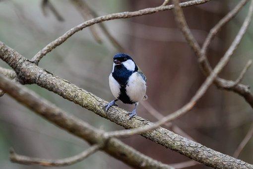 Animal, Forest, Wood, Bird, Wild Birds, Tits, Chirping