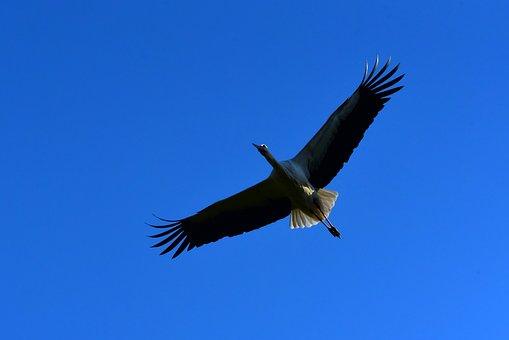 Stork, Wading Bird, Animal, Predator, Wing, Feather