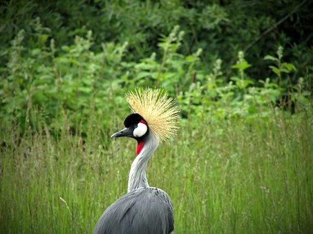 Grey Crowned Crane, Crane, Bird, Africa, African
