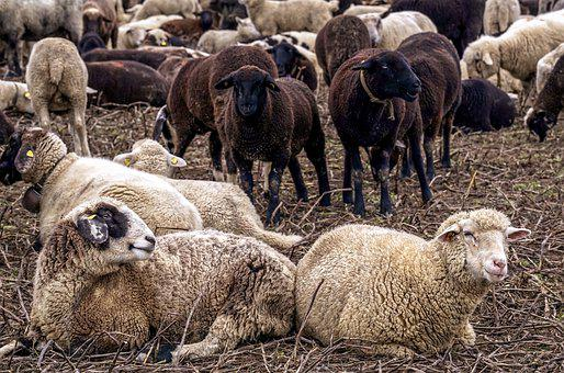 Sheep, Pack, Flock, Animals, Flock Of Sheep, Cattle