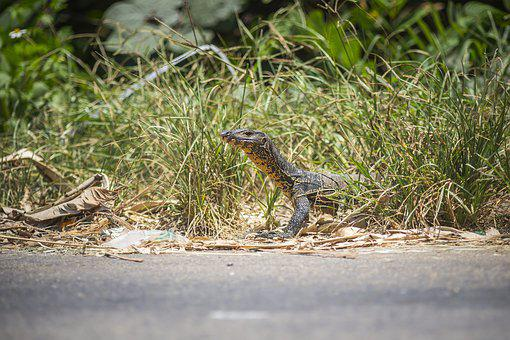 Asian Water Monitor, Varanus Salvator, Reptile, Lizard