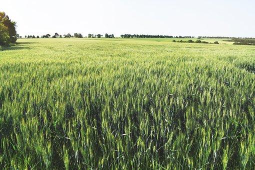 Agricultural, Background, Cereal