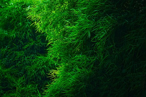 Bamboo Groves, Bamboo Forest, Green Leaves, Foliage