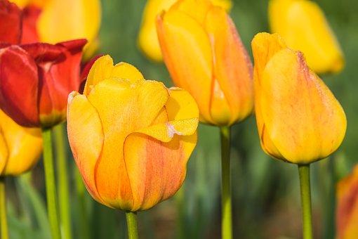 Raindrop, Dewdrop, Tulpenbluete, Blossom, Bloom, Drip