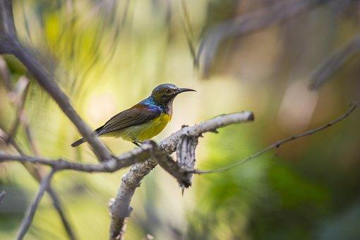 Brown-throated Sunbird, Bird Watching