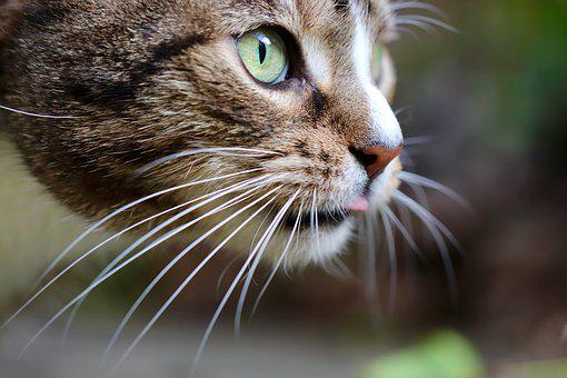 Cat, Cat Tongue, Cat's Eyes, Whiskers, Voltage
