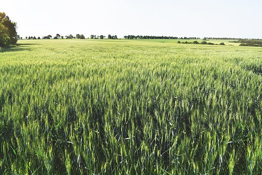 Agricultural, Background, Cereal, Cultivated