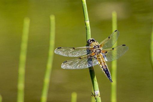 Four-spotted Chaser, Libellula Quadrimaculata, Depressa