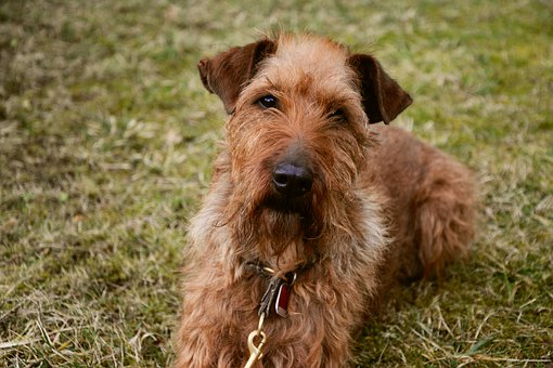 Dog, Irish Terrier, Garden, Meadow
