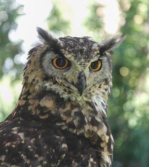 Owls, Birds, Nature, Animals, Eyes, Animal, Owl, Bird