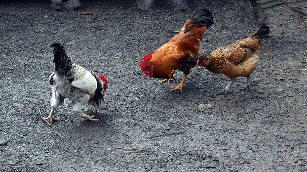 Hen Fight, Fight, Fight For Wife, Support, Husband