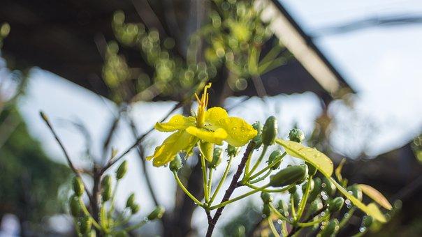 Tết, Holiday, Flower, Vietnam, Yellow, Asia, Festival