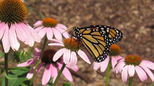 Butterfly, Pink, Coneflower, Nature, Flower