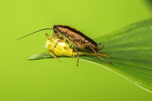 German Cockroach, Blattella Germanica
