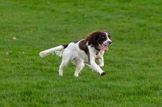 Springer Spaniel, Spaniel, Dog, Gun Dog, Running, Happy