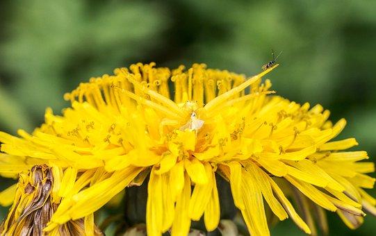 Goldenrod Crab Spider, Misumena Vatia, Hunter, Spider