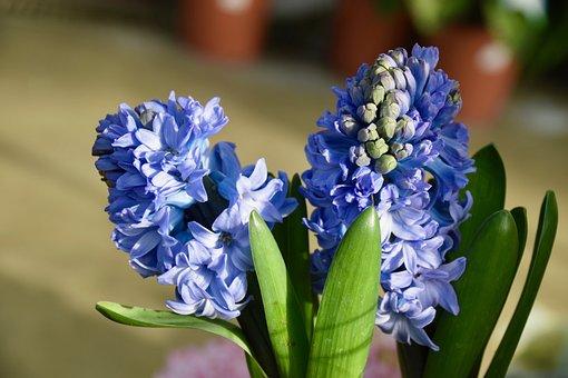 Flower, Hyacinth, Hyacinth Bloom, Green Leaves