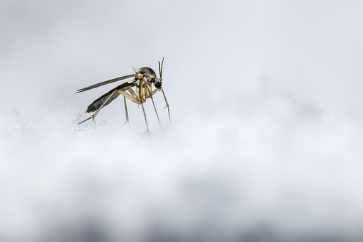 Mosquito, Ice, Snow, Cold, Winter, White, Insect, Macro