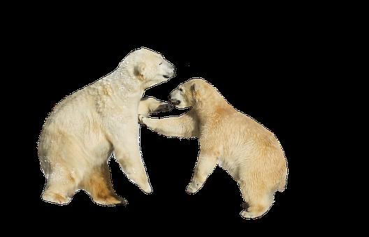 Polar Bears, Fight, Play, Isolated