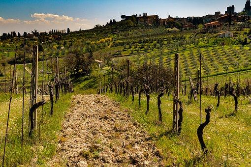 Vineyard, Tuscany, Winery, Italy