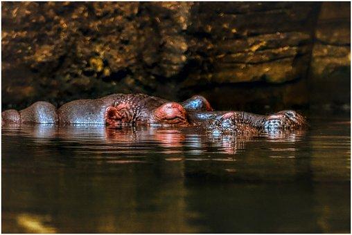 Hippo, Swim, Water, Hard, Large, Hippopotamus
