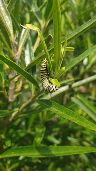 Monarch, Butterfly, Caterpillar, Swan Plant, Tree, Bush