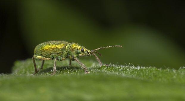 Nettle Weevil, Phyllobius Pomaceus