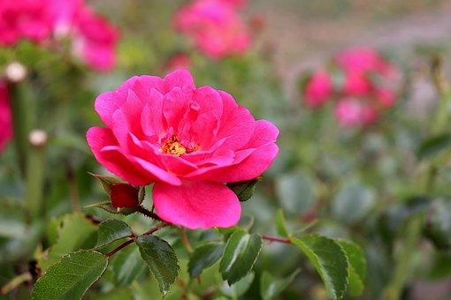 Pink, Dark Pink In Colour, Roses, Flowering Shrubs
