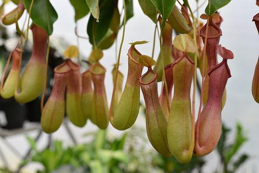 Pitcher Plant, Nepenthes Alata, Carnivorous Plant
