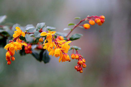 Barbary, Flowering Shrubs, Plants, Flowers