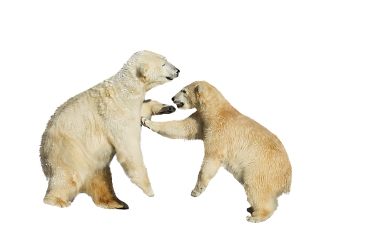 Polar Bears, Fight, Play, Isolated, Animal, Predator